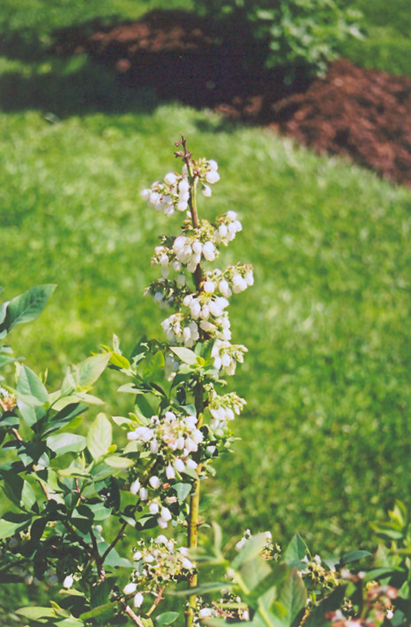 Elliott Blueberry (Vaccinium corymbosum 'Elliott') at Pesche's Garden Center