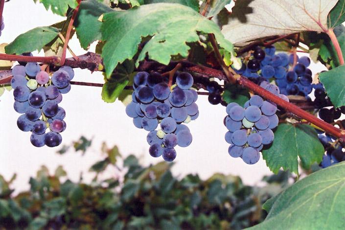 Concord Grape (Vitis 'Concord') at Pesche's Garden Center