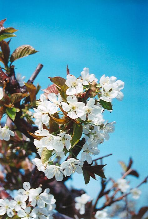 Bing Cherry (Prunus avium 'Bing') at Pesche's Garden Center