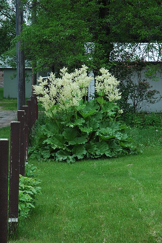 Garden Rhubarb (Rheum rhabarbarum) at Pesche's Garden Center
