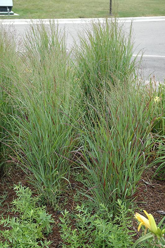 Shenandoah Reed Switch Grass (Panicum virgatum 'Shenandoah') at Pesche's Garden Center