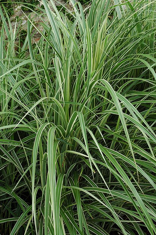 Variegated Silver Grass (Miscanthus sinensis 'Variegatus') at Pesche's Garden Center