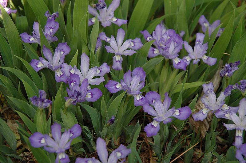 Dwarf Crested Iris (Iris cristata) at Pesche's Garden Center