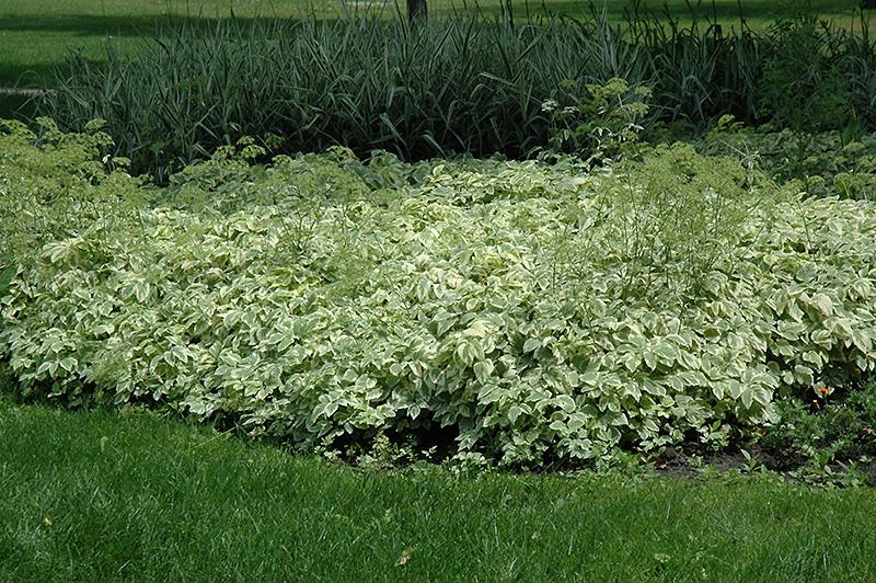 Variegated Bishop's Goutweed (Aegopodium podagraria 'Variegata') at Pesche's Garden Center