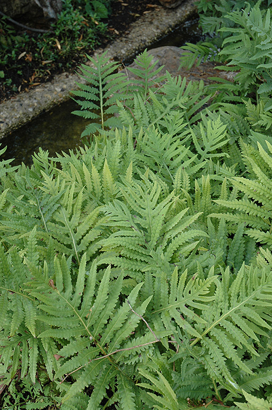 Sensitive Fern (Onoclea sensibilis) at Pesche's Garden Center