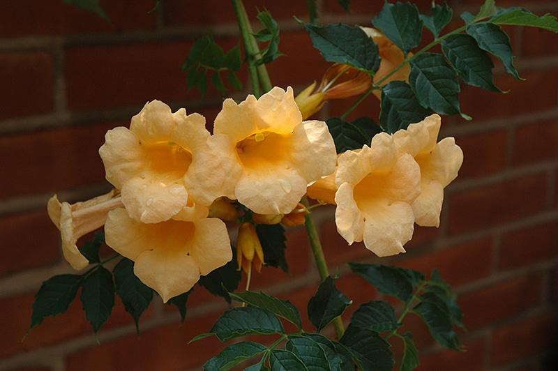 Yellow Trumpetvine (Campsis radicans 'Flava') at Pesche's Garden Center