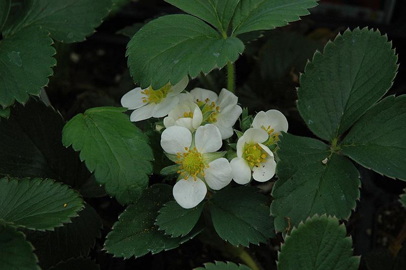 Honeoye Strawberry (Fragaria 'Honeoye') at Pesche's Garden Center