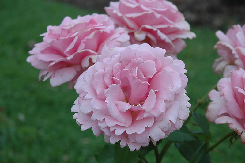 Memorial Day Rose (Rosa 'Memorial Day') at Pesche's Garden Center