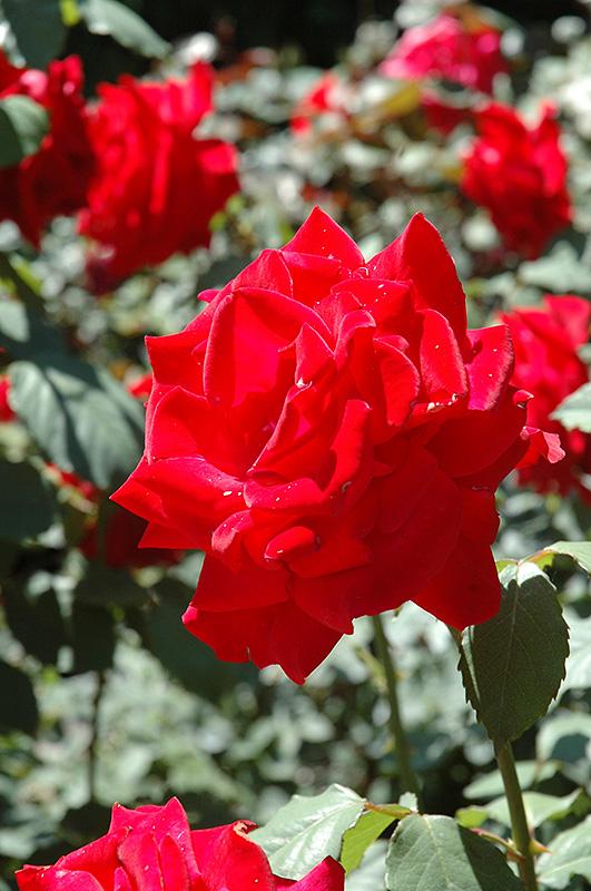 Chrysler Imperial Rose (Rosa 'Chrysler Imperial') at Pesche's Garden Center