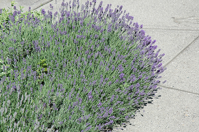 Munstead Lavender (Lavandula angustifolia 'Munstead') at Pesche's Garden Center