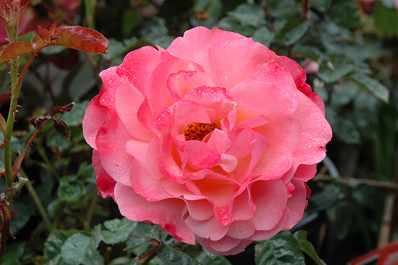 Colorific Rose (Rosa 'Colorific') at Pesche's Garden Center
