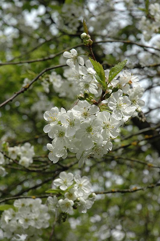 Northstar Cherry (Prunus 'Northstar') at Pesche's Garden Center