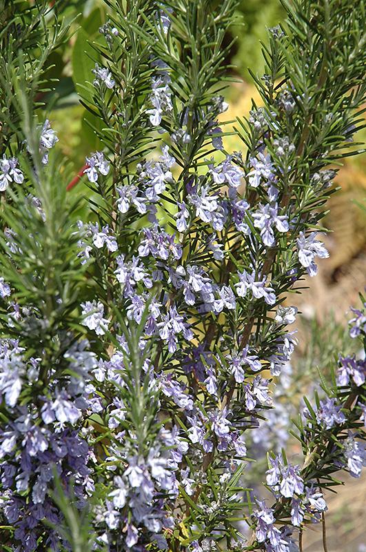 Rosemary (Rosmarinus officinalis) at Pesche's Garden Center