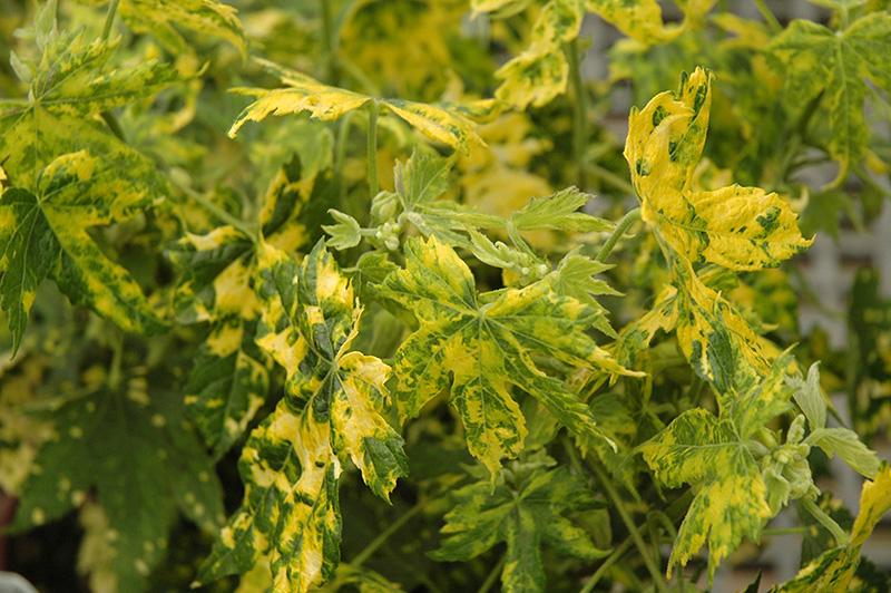 Variegated Flowering Maple (Abutilon pictum 'Thompsonii') at Pesche's Garden Center