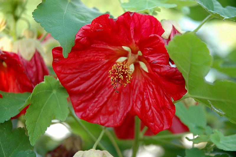 Bella Red Flowering Maple (Abutilon 'Bella Red') at Pesche's Garden Center