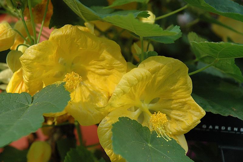 Bella Yellow Flowering Maple (Abutilon 'Bella Yellow') at Pesche's Garden Center