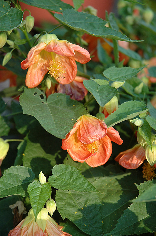 Lucky Lantern Tangerine Abutilon (Abutilon 'NUABTANG') at Pesche's Garden Center