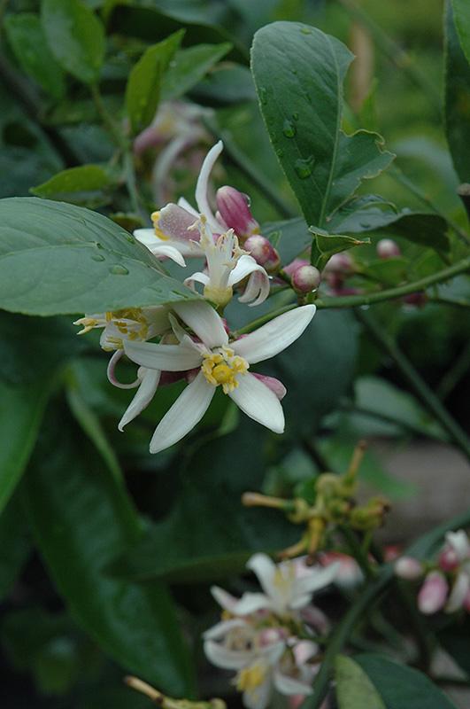 Improved Meyer Lemon (Citrus x meyeri 'Meyer Improved') at Pesche's Garden Center