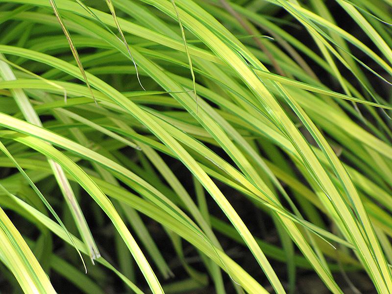 Bowles Golden Sedge (Carex elata 'Bowles Golden') at Pesche's Garden Center