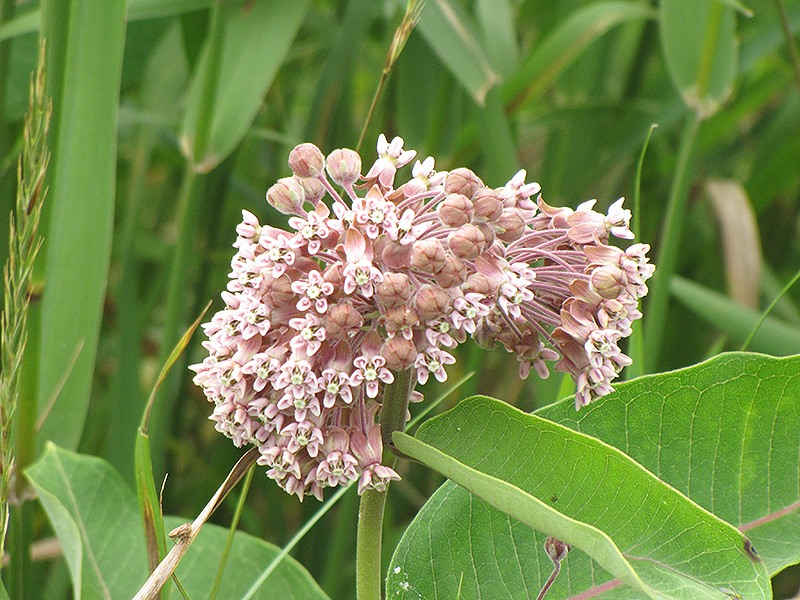 Common Milkweed (Asclepias syriaca) at Pesche's Garden Center
