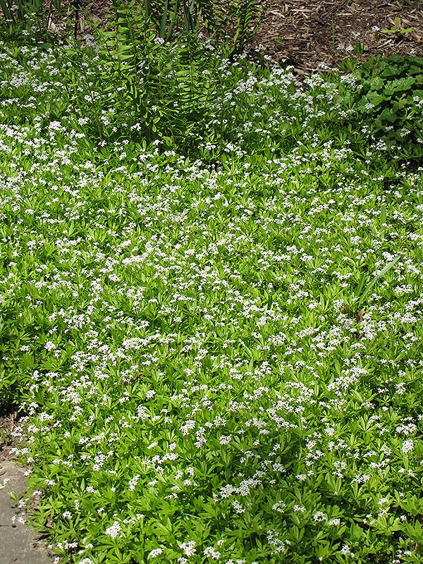 Sweet Woodruff (Galium odoratum) at Pesche's Garden Center