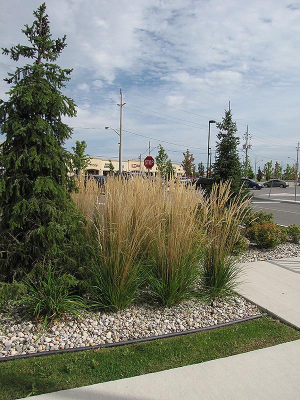 Karl Foerster Reed Grass (Calamagrostis x acutiflora 'Karl Foerster') at Pesche's Garden Center