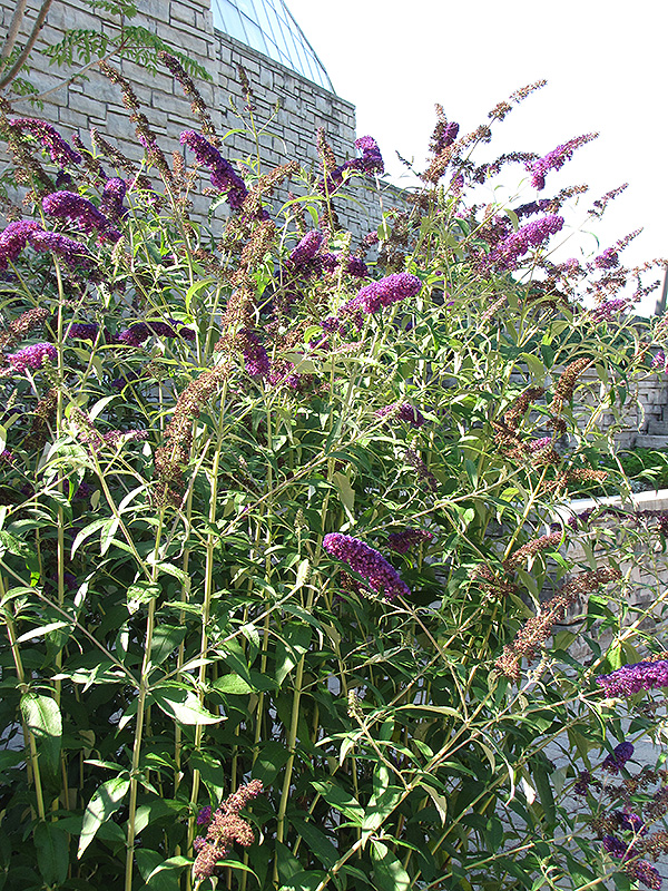 Black Knight Butterfly Bush (Buddleia davidii 'Black Knight') at Pesche's Garden Center