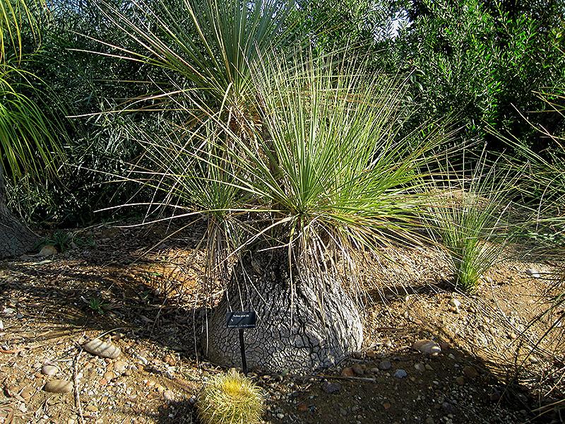 Mexican Pony Tail Palm (Nolina gracilis) at Pesche's Garden Center