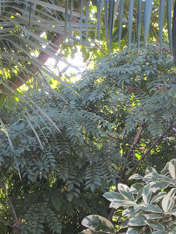 Curry Tree (Murraya koenigii) at Pesche's Garden Center