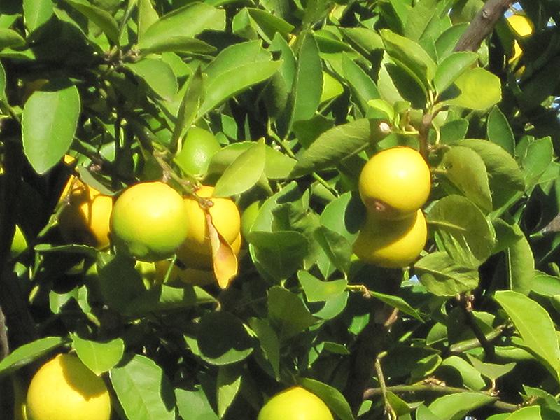 Persian Lime (Citrus x latifolia) at Pesche's Garden Center
