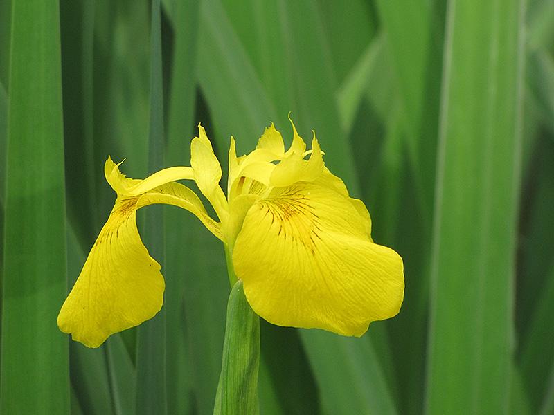 Yellow Flag Iris (Iris pseudacorus) at Pesche's Garden Center