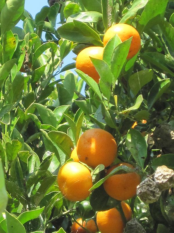Calamondin (Citrofortunella x mitis) at Pesche's Garden Center