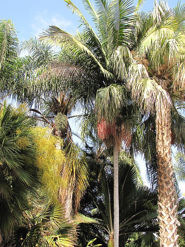 Christmas Palm (Veitchia merrillii) at Pesche's Garden Center