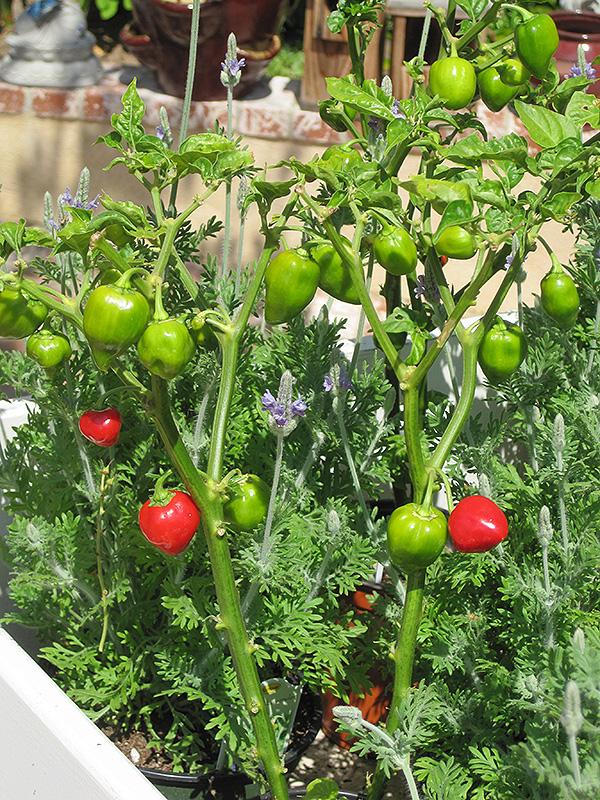 Caribbean Red Pepper (Capsicum chinense 'Caribbean Red') at Pesche's Garden Center