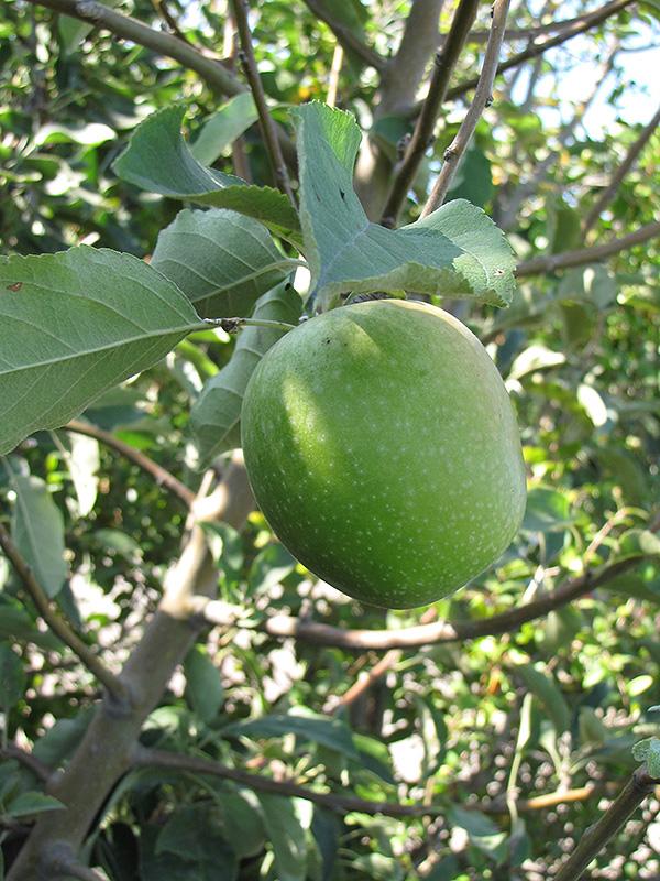 Granny Smith Apple (Malus 'Granny Smith') at Pesche's Garden Center