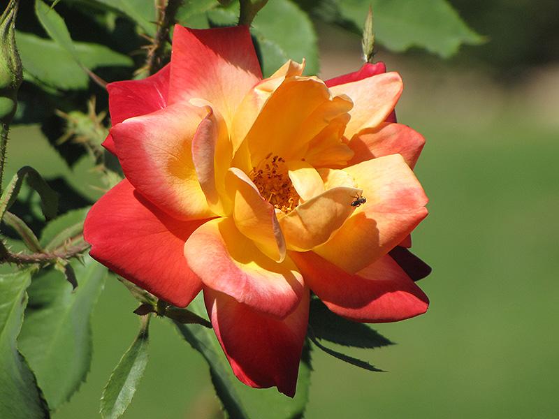Joseph's Coat Rose (Rosa 'Joseph's Coat') at Pesche's Garden Center