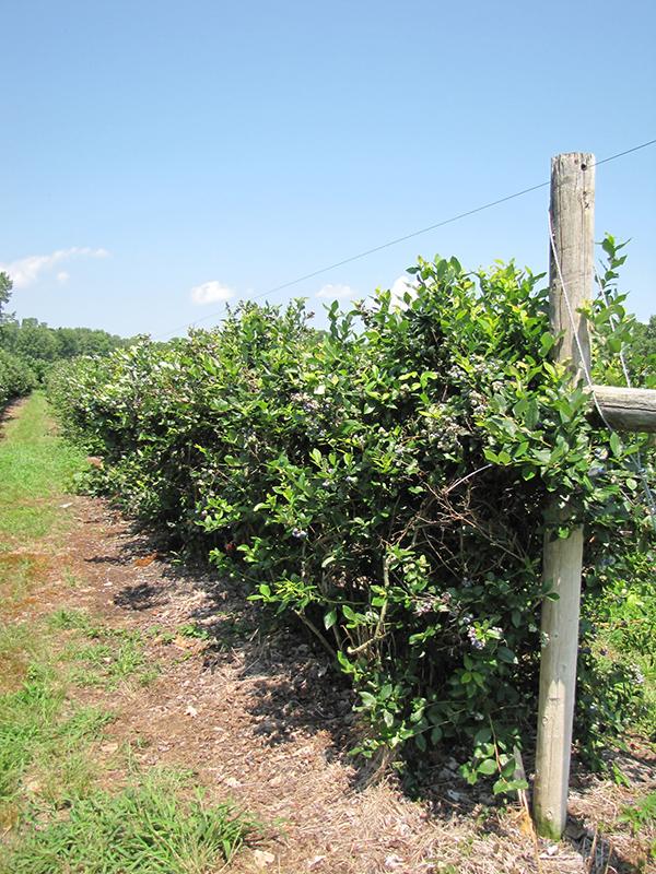 Patriot Blueberry (Vaccinium corymbosum 'Patriot') at Pesche's Garden Center