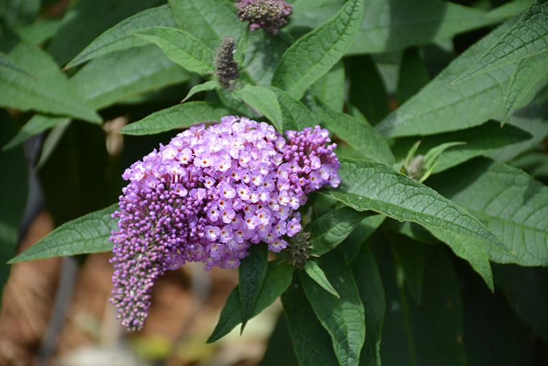 Pugster Amethyst Butterfly Bush (Buddleia 'SMNBDL') at Pesche's Garden Center
