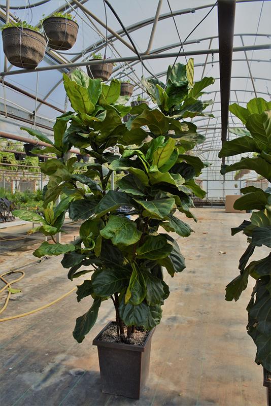 Fiddle Leaf Fig (Ficus lyrata) at Pesche's Garden Center