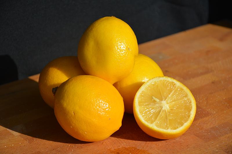 Meyer Lemon (Citrus x meyeri) at Pesche's Garden Center
