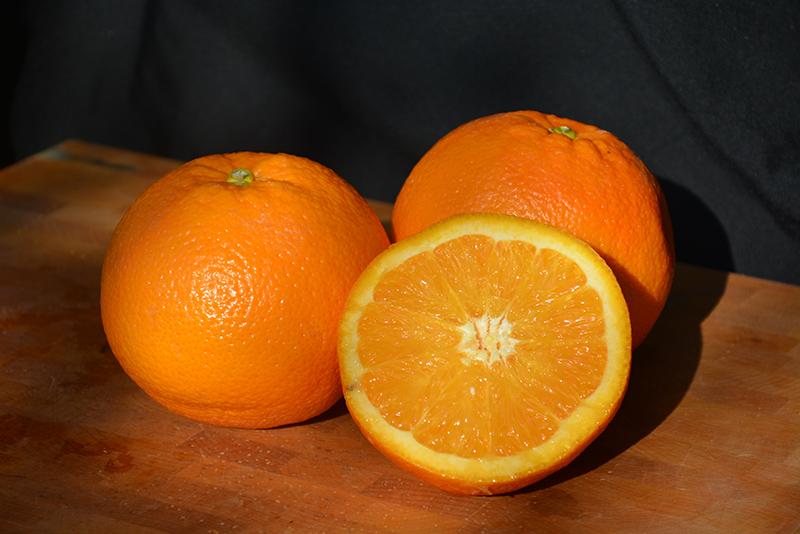 Navel Orange (Citrus sinensis 'Navel') at Pesche's Garden Center