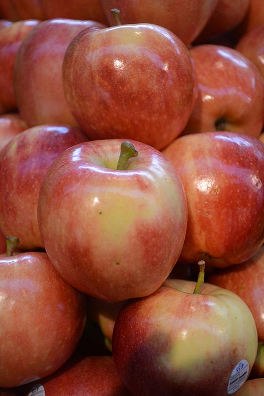 Royal Gala Apple (Malus 'Royal Gala') at Pesche's Garden Center