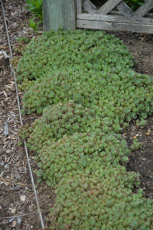 Lime Zinger Stonecrop (Sedum 'Lime Zinger') at Pesche's Garden Center