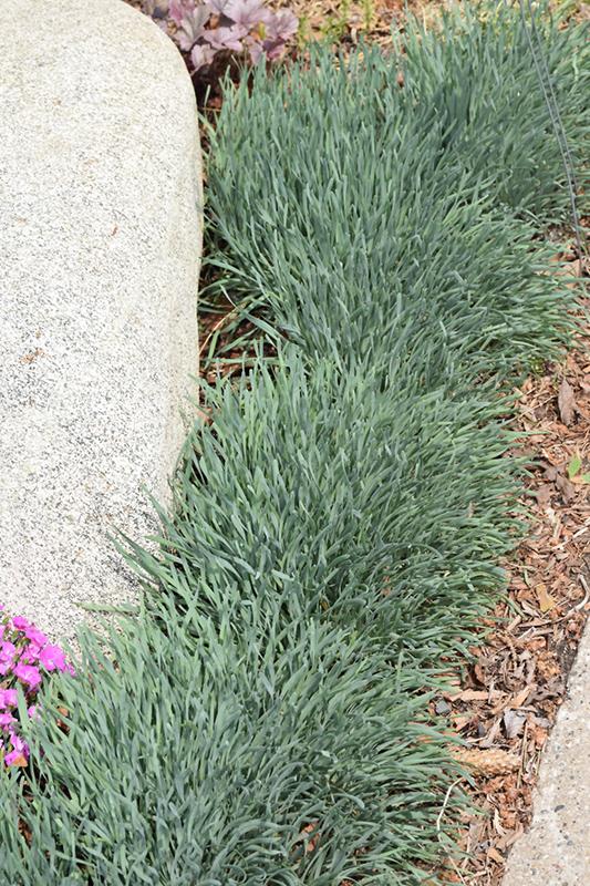 Blue Eddy Ornamental Onion (Allium senescens 'Blue Eddy') at Pesche's Garden Center