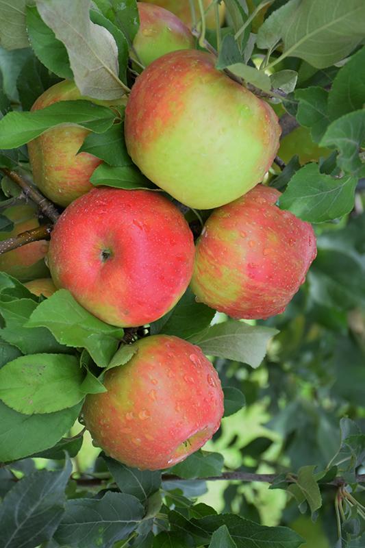 Honeycrisp Apple (Malus 'Honeycrisp') at Pesche's Garden Center
