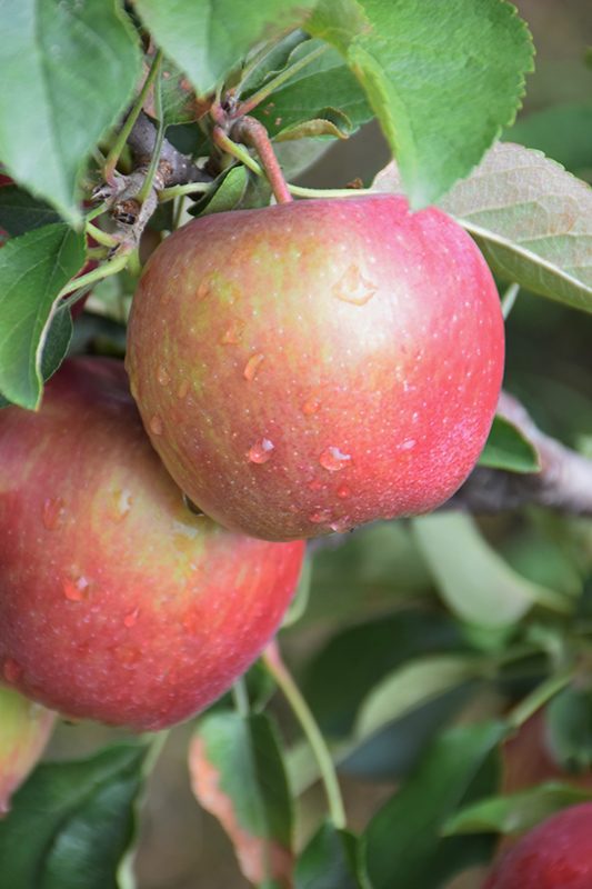 Red Delicious Apple (Malus 'Red Delicious') at Pesche's Garden Center