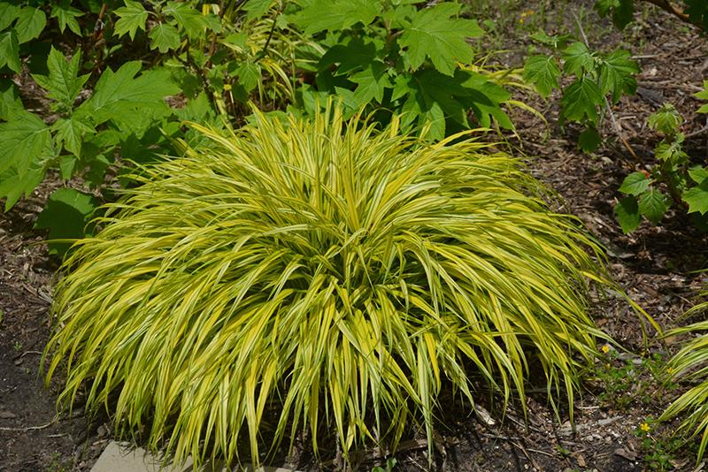 Golden Variegated Hakone Grass (Hakonechloa macra 'Aureola') at Pesche's Garden Center