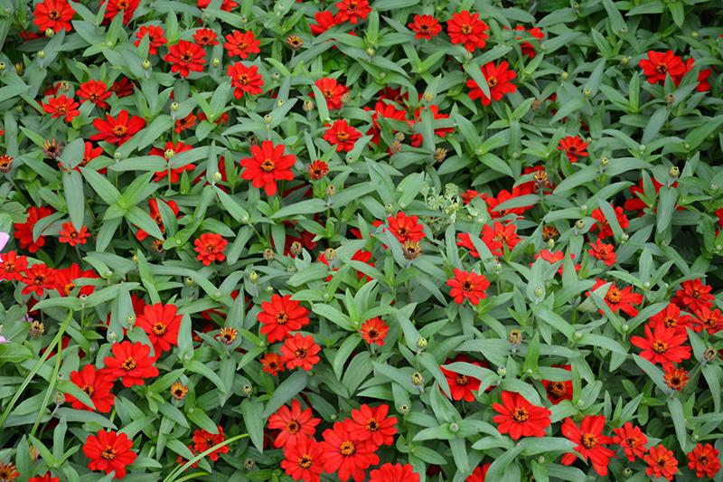 Profusion Red Zinnia (Zinnia 'Profusion Red') at Pesche's Garden Center