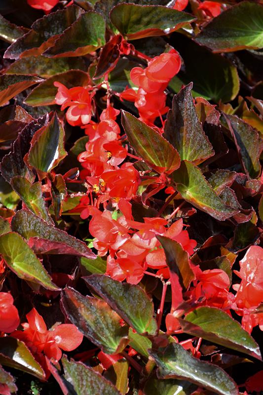 Big DeLuXXE Red Bronze Leaf Begonia (Begonia 'Big DeLuXXE Red Bronze Leaf') at Pesche's Garden Center
