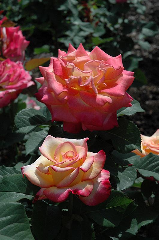 Dream Come True Rose (Rosa 'Dream Come True') at Pesche's Garden Center